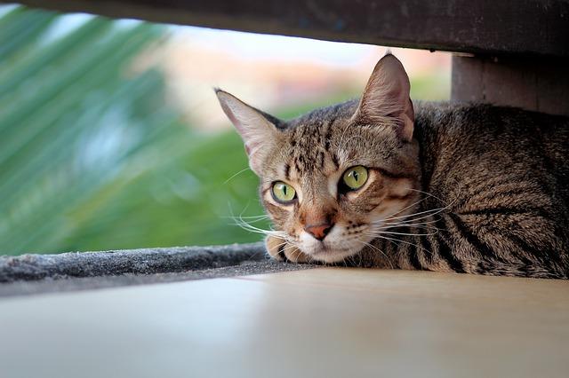 mourovaná kočka